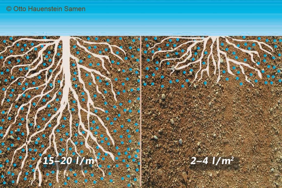 Wurzelwachstum Rasen